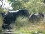 Elephants bathing in the Delta