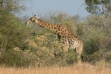 A giraffe feeds on leaves from a tree