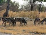 Herd of Burchell's Zebra