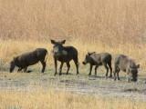 A warthog family