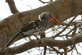 This yellow-billed hornbill mocked us from a tree as we ate lunch.