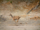 An energetic kudu running in the dried-up riverbed