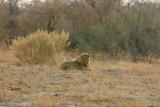 Male lion from the Savuti Pride