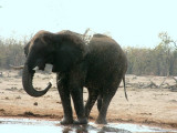 A bull elephant washes at one of the few waterholes in the area