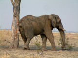An elephant scratches its rear end on a tree