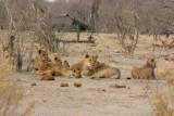 Collection of Savuti Pride lions