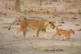 A mother lion chases one of her cubs