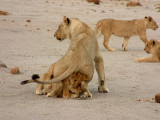 A lioness sits on her cubs to make them behave