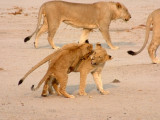 One lion cub plays with a sibling