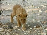A lion cub stalks near a waterhole