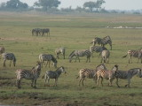 Zebra herd on the river floodplain
