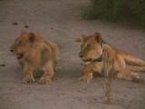 Lionesses -- note radio tracking collar