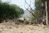 An elusive bushbuck