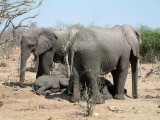 Young elephants sleep while the adults stand guard