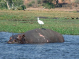 A hippo looks askance at an egret on its back