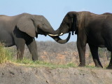 Elephants greeting one another