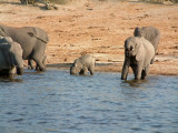 Baby elephants cannot drink using their trunks -- so they resort to a more direct method