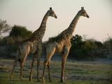 Giraffes watch the sun set over the Chobe River