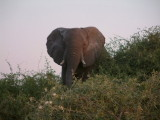 A matriarch elephant threatens us from a ledge above the river