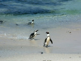 African Penguins are also called Jackass Penguins because of their vocalizations