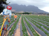 Whimsical scarecrows in a strawberry field