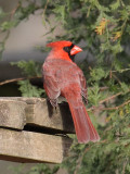 Male Cardinal, Chattahoochee Nature Center
