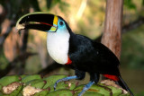 A wild Yellow-ridged Toucan at the Lodge