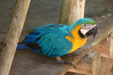 Pet blue-and-gold macaw at the Lodge