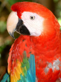The infamous Chico Malo, the Lodge's Scarlet Macaw