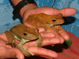 Male and female tree frogs