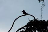 Kingfisher silhouette