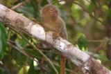 Pygmy marmoset, the world's smallest monkey