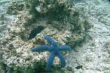 A blue starfish in the water near Mounu Island