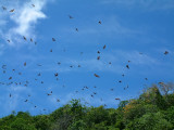 Clouds of flying foxes in the air above Kitu Island