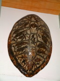 Carved seat turtle shell at Pua's