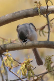 A tufted titmouse prays at Chattahoochee Nature Center