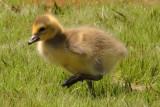 Canada goose gosling, Chattahoochee Nature Center