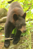 A cub coming down from a nearby field into the stream bed
