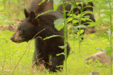 One of the cubs explores with his mother in the background