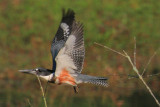 Belted Kingfisher taking off, Chattahoochee Nature Center
