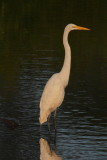 A stately Great Egret, E.L. Huie Ponds