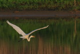 Great Egret in flight, E.L. Huie Ponds