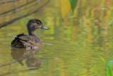 A duckling at Chattahoochee Nature Center