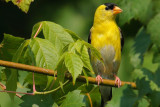 Male American Goldfinch, Chattahoochee Nature Center