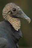 Black Vulture, Chattahoochee Nature Center