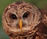 Captive Barred Owl, Chattahoochee Nature Center