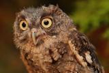 Captive Screech Owl (molting), Chattahoochee Nature Center