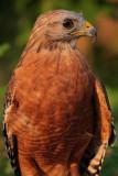 Captive Red-Shouldered Hawk, Chattahoochee Nature Center