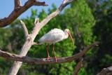 Ibis and Spoonbills