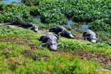 Napping Gators